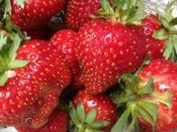 Sommerjordbær til selvpluk