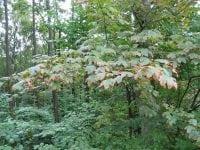Birketræer, ahorn og andre træer begynder allerede nu at få efterårsfarver. Mange træer får brune kanter på bladene som reaktion på tørken. Fortsætter tørken kan egetræerne smide kviste og hele grene. Foto: Iben M. Thomsen